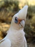 Kakadu, australia Stock Image