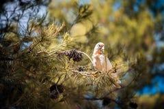 kakadu australijski biel Obraz Royalty Free