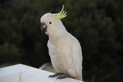 Kakadu bianco Fotografie Stock Libere da Diritti
