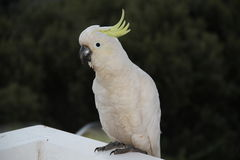 Kakadu branco Fotos de Stock Royalty Free