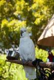 Kakadu Cacatua sulphurea Gelb-mit Haube stockfotos