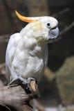 Kakadu czubaty kakadu Obraz Royalty Free