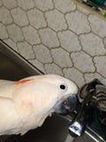 Kakadu, der vom Küchenhahn trinkt Lizenzfreie Stockbilder