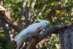 Kakadu des Schwefels mit Haube auf einer Niederlassung Lizenzfreie Stockfotos