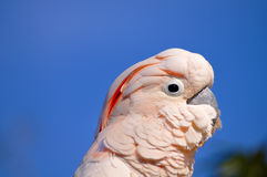 kakadu głowy major mitchell s Fotografia Stock