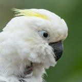 Kakadu mit gelbem Kamm Stockfotos