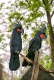 Kakadu obsiadanie w drzewie Obrazy Royalty Free