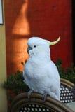 Kakadu-Papagei Stockfotografie