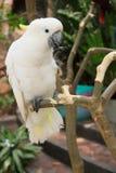 Kakadu papegoja Royaltyfri Fotografi