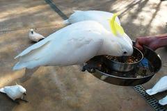 Kakadu papegojor royaltyfria bilder