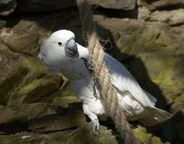 Kakadu parrot Stock Images