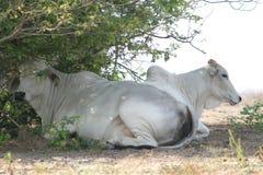 Kakadu van koeien Royalty-vrije Stock Fotografie