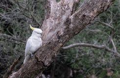 Kakadu w genus Cacatua Zdjęcia Stock