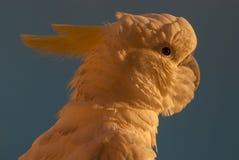 Kakadu wschodu słońca portret Zdjęcia Stock
