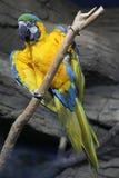 Kakadu Yellow Parrot wild nature tropic Royalty Free Stock Photo