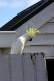 kakadua Royaltyfria Bilder