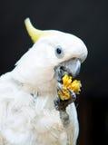Kakadua Royaltyfri Fotografi