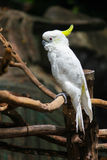 kakadua Arkivfoto