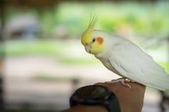 Kakadua Cacatuidae, övre fotografi för slut av lite ung coc Royaltyfria Foton