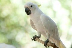 Kakadua i parken Arkivfoto