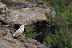 Kakadua Jamison Valley New South Wales Australien arkivfoton