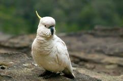 Kakadua Jamison Valley New South Wales Australien royaltyfri bild