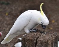 kakadua krönad sulphur Royaltyfri Foto