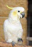 kakadua krönad sulphur Fotografering för Bildbyråer