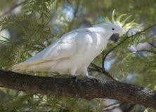kakadua krönad sulphur Arkivfoto