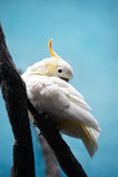 kakadua krönad vit yellow Royaltyfri Foto
