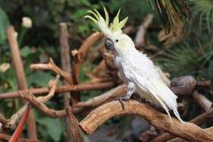 kakadua krönad yellow Royaltyfria Foton