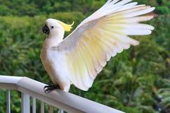 kakadua krönad yellow Arkivfoto