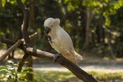 Kakadua som äter frukt Royaltyfria Bilder