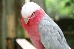 Kakaduafågel royaltyfri bild