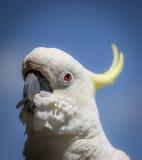 Kakaduan håller ögonen på dig Arkivfoton