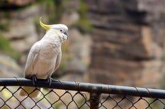 Kakaduan sitter på en fance i Jamison Valley New South Wales Austra royaltyfri bild