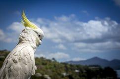 Kakaduan står vakten Arkivbild
