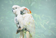 kakaduawhite Arkivfoto
