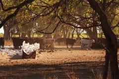 Kakaduor & änder samlar för att mata av höet som matas till nötkreaturet royaltyfria bilder