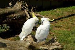 Kakaduor på en trädstam royaltyfri fotografi