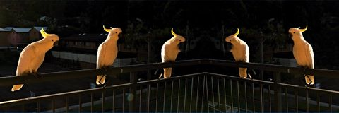 Kakaduor på gryning Royaltyfri Foto