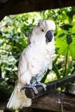 Kakadupapagei in den Tropen lizenzfreie stockfotografie