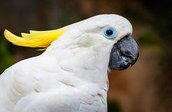 Kakadus stock afbeelding
