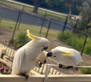 Kakadus, die Brot teilen lizenzfreie stockfotografie