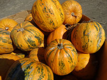 Kakai pumpkin, Cucurbita pepo Royalty Free Stock Photos