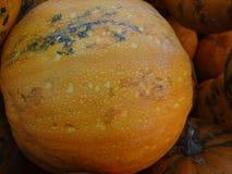 Kakai pumpkin, Cucurbita pepo Royalty Free Stock Photo