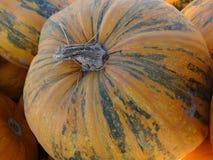 Kakai pumpkin, Cucurbita pepo Stock Images