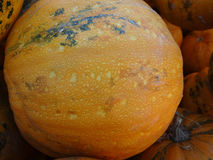 Kakai pumpkin, Cucurbita pepo Royalty Free Stock Images