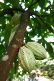 kakao Royaltyfria Foton