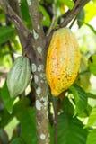 Kakao Royaltyfri Bild
